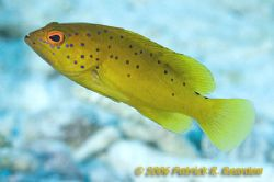 Nice colors on this Coney in the Golden phase. D100 in Tu... by Patrick Reardon 